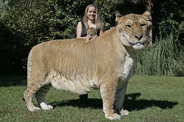 aries-liger-cub-hercules-picture